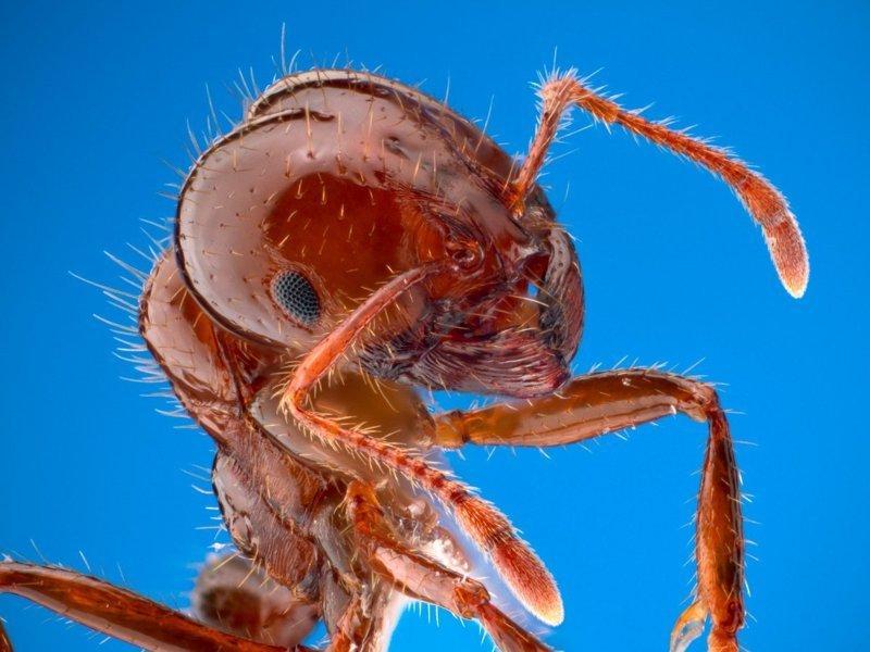 Красный огненный муравей боль, в мире, люди, насекомые, укус, энтомолог