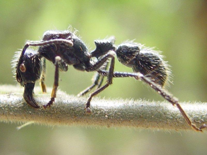 Муравей-пуля боль, в мире, люди, насекомые, укус, энтомолог