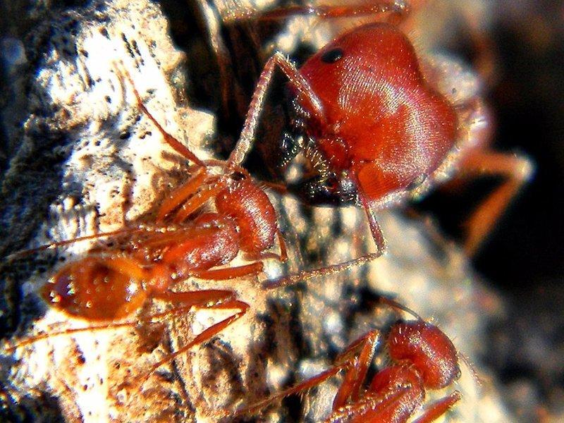 Флоридский муравей-жнец боль, в мире, люди, насекомые, укус, энтомолог
