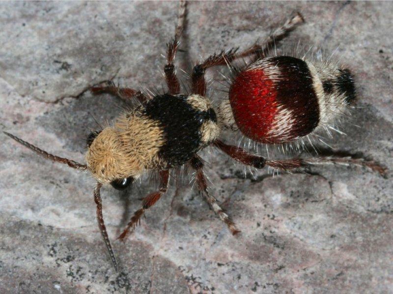 Бархатный муравей (по факту — оса) боль, в мире, люди, насекомые, укус, энтомолог