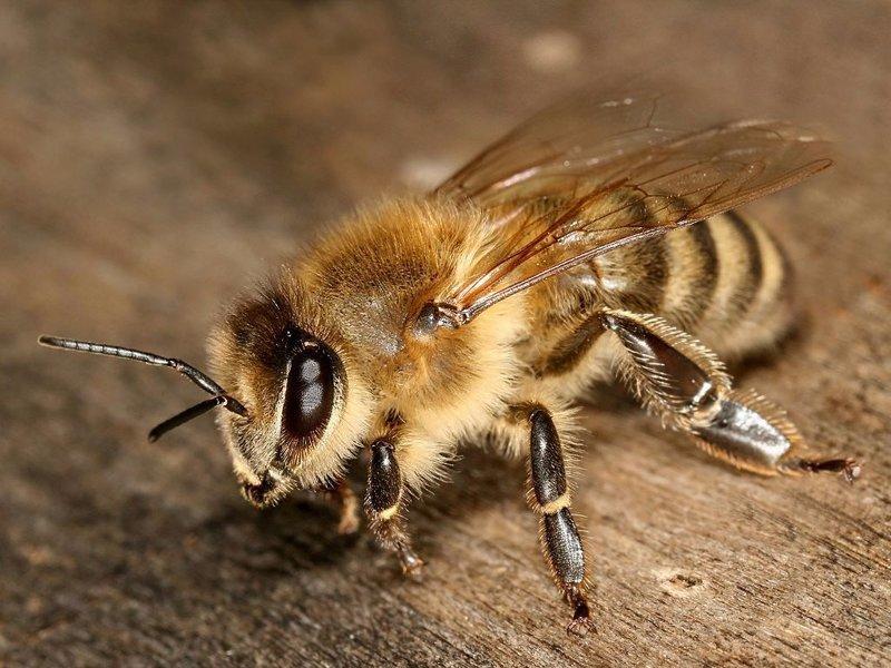 Медоносная пчела боль, в мире, люди, насекомые, укус, энтомолог