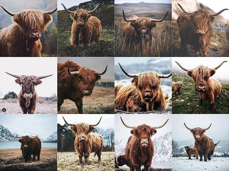 5. Портрет коровы породы Хайленд Instagram, коллаж, компиляция, однообразие, снимок, фотография, фотомир