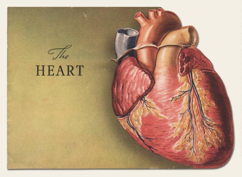 Сердце картинки анатомия