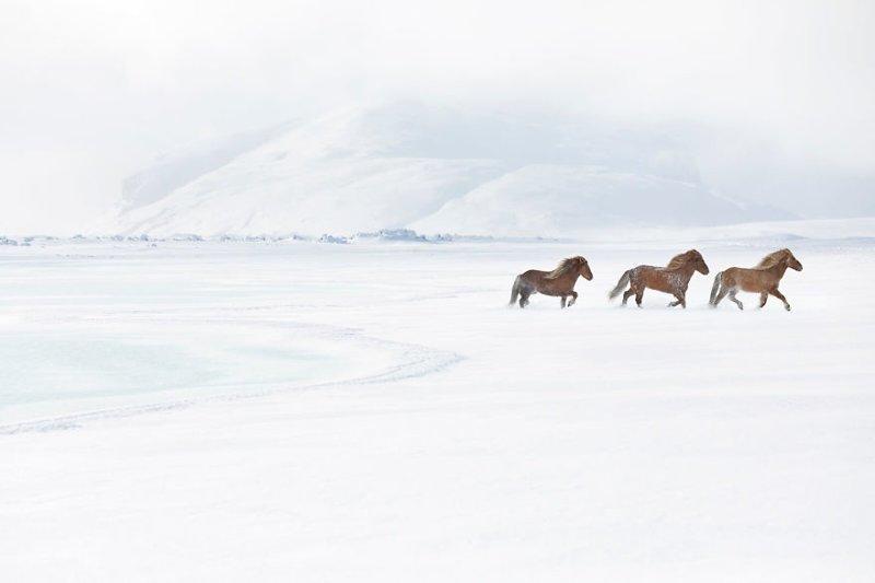 Некоторые верят, что эти лошади - потомки Слейпнира дикая природа, исландия, исландия фото, исландия это страна неземной красоты, красота, лошади, лошадь, скандинавская мифология