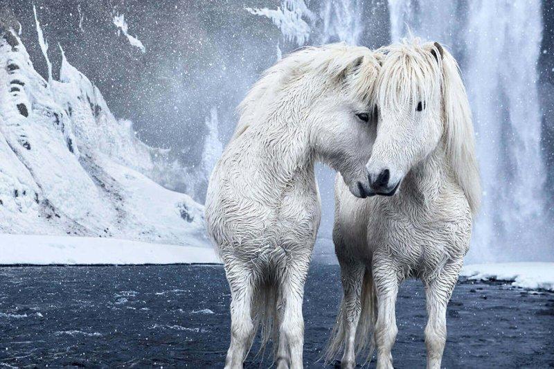 """Фотосерия """"В царстве легенд"""" нью-йоркского фотографа Дрю Доггета была сделана в Исландии и ее герои - дикие лошади, живущие на острове дикая природа, исландия, исландия фото, исландия это страна неземной красоты, красота, лошади, лошадь, скандинавская мифология"""