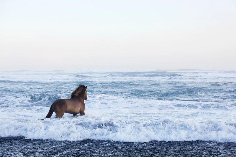 Обычно Дрю Догетт делает свои снимки черно-белыми дикая природа, исландия, исландия фото, исландия это страна неземной красоты, красота, лошади, лошадь, скандинавская мифология