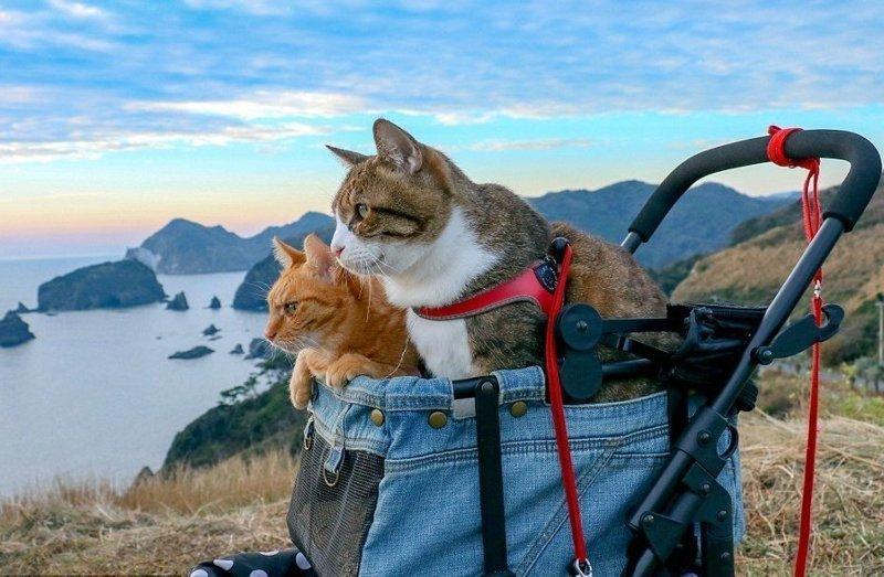Коты-путешественники Фуку-Чан (7 лет) и Дайкичи (13 лет) объездили уже всю Японию вместе со своим хозяином Дайсуке Нагасавой домашние животные, животные, инстаграмм, котовасия, кошка, кошки, путешествие, япония