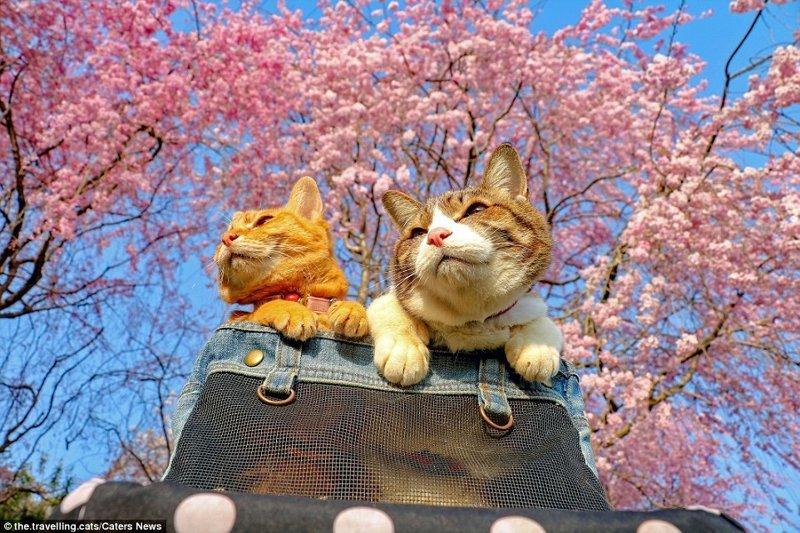 Свежий воздух, опять же. Сакура в цвету, вот это всё домашние животные, животные, инстаграмм, котовасия, кошка, кошки, путешествие, япония
