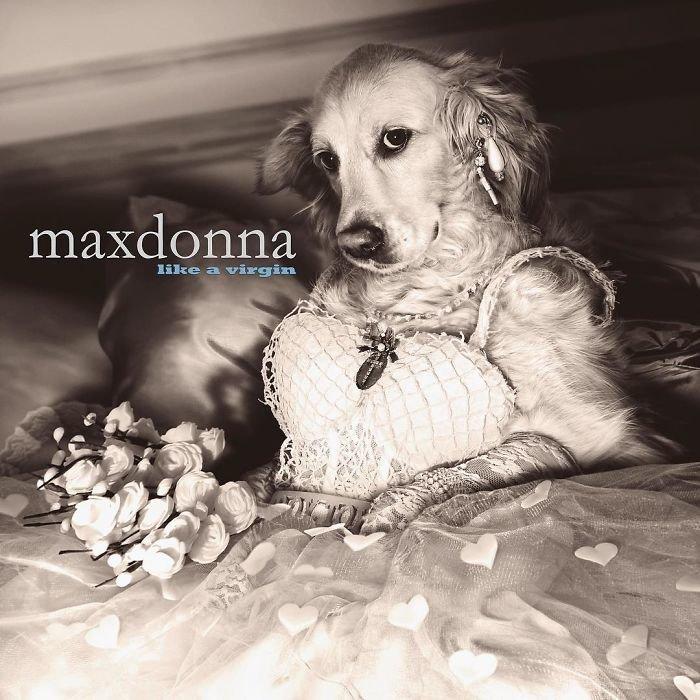 Пес Макс в роли Мадонны покорил даже ее саму благотворительная деятельность, и такое бывает, мадонна, собака, собака - улыбака, фотограф, фотопроект, фэшн