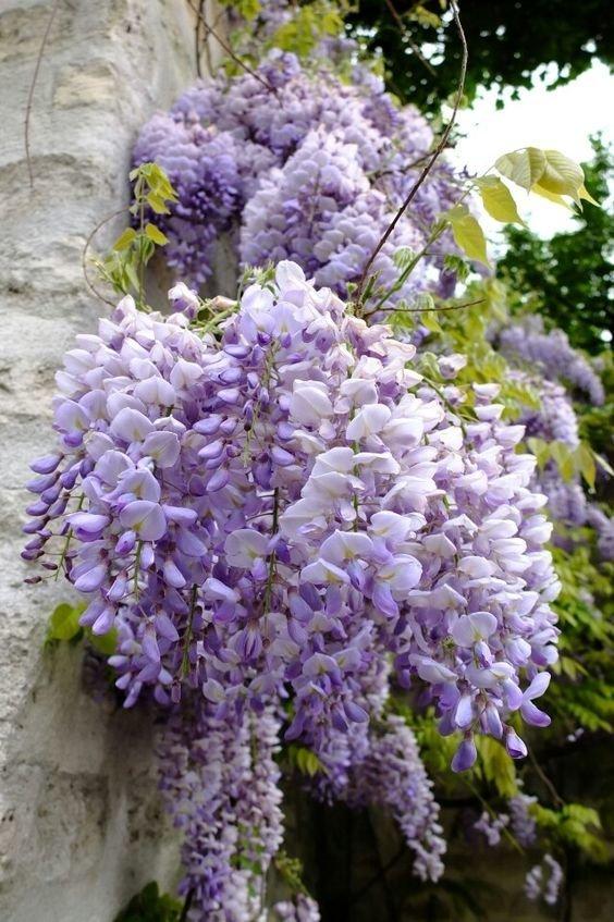 Глициния гирлянды, интересное, красота, природа, фотомир, цветы