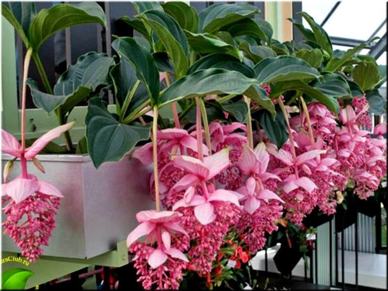 Мединилла. Один из самых дорогих цветов мира гирлянды, интересное, красота, природа, фотомир, цветы