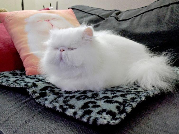 У этого кота есть своя подогреваемая подстилка (и подушка с его изображением) домашний питомец, животные, жизнь, кот, прикол