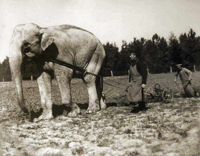 Слон из зоопарка. 1910 год исторические фотографии, история, редкие фотографии