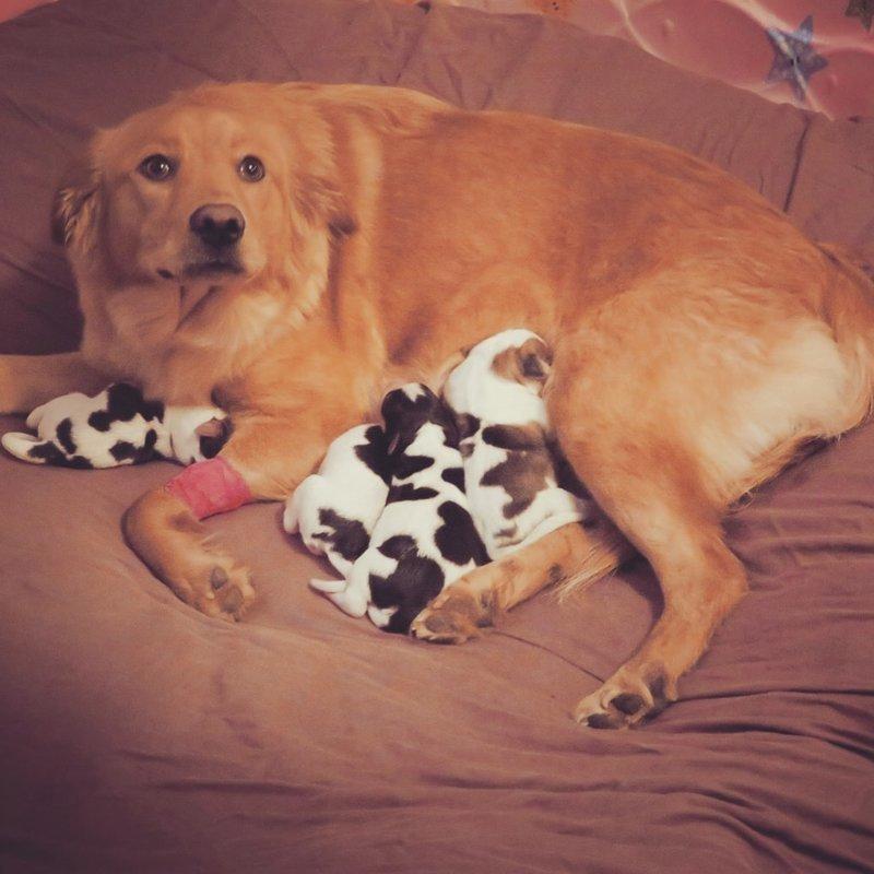 Ведь щенки больше походили на телят — даже Рози была немного в шоке в мире, животные, милота, роды, собака, телята, щенки