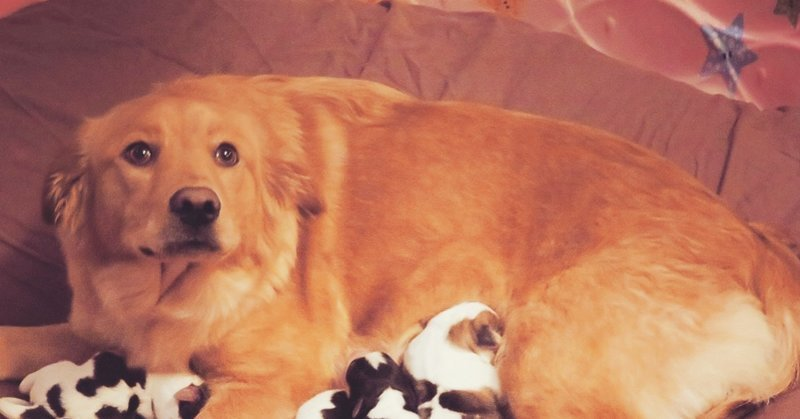 """Люди спасли собаку-ретривера, а утром она родила """"телят"""" в мире, животные, милота, роды, собака, телята, щенки"""