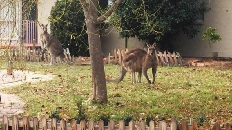 Один из местных жителей, Питер Робинсон сообщил, что обнаружил крупного кенгуру на своём заднем дворе, где зверь грыз газон. Такого мужчина ещё никогда не видел австралия, в мире, животные, кенгуру