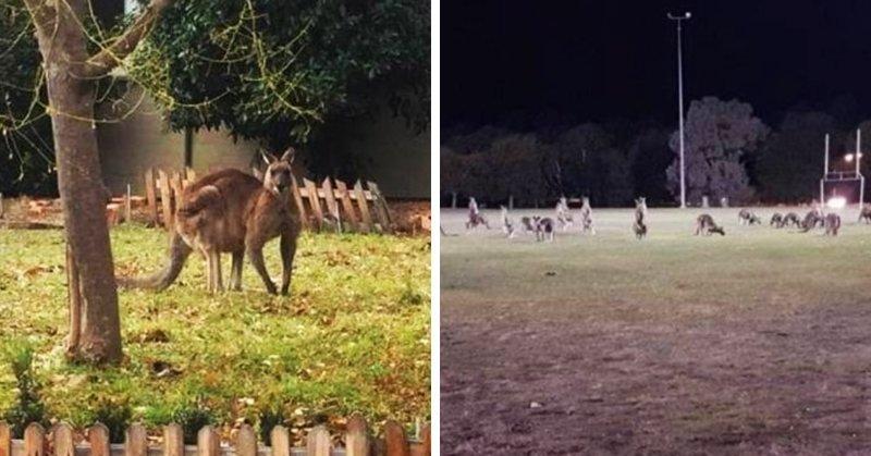 Десятки кенгуру оккупировали пригород столицы Австралии австралия, в мире, животные, кенгуру