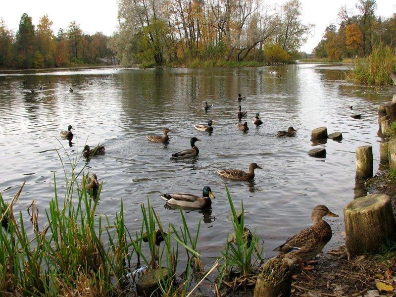 Жительница Смоленска после купания в озере обзавелась подкожными личинками ynews, интересное, купание, личинки, озеро, паразиты, утки