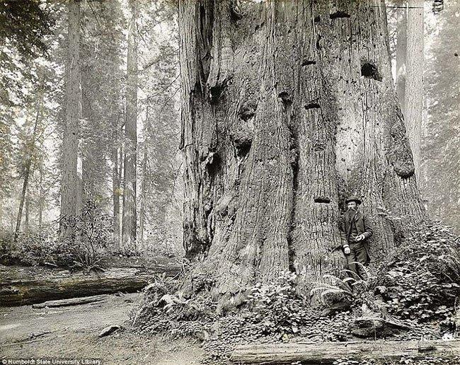 Дровосеки начала XX-го века на фоне спиленных гигантов гиганты, дерево, дровосеки, сруб