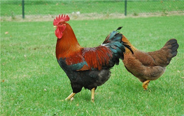Вельзумер домашние хитрости, куры, необычные куры, пасхальные куры, пасхальные яйца, породы кур, цветные яйца