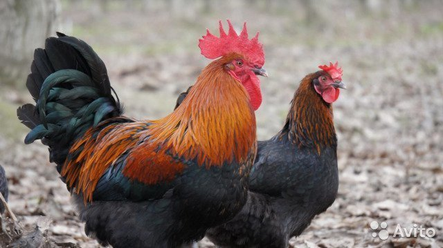 Французский маран домашние хитрости, куры, необычные куры, пасхальные куры, пасхальные яйца, породы кур, цветные яйца