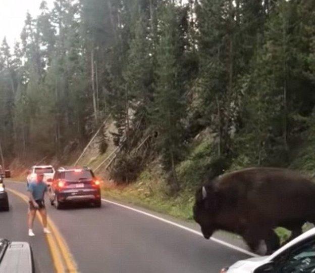 В ход шли крики и удары в грудь бизон, дорога, животные, заповедник, йеллоустон, парк, сша