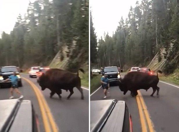 """Бизон, вес которого составляет приблизительно 900 кг, ринулся на """"тореадора"""" бизон, дорога, животные, заповедник, йеллоустон, парк, сша"""