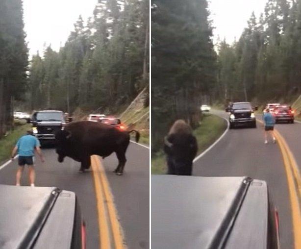 Животное ограничилось лишь выпадами бизон, дорога, животные, заповедник, йеллоустон, парк, сша