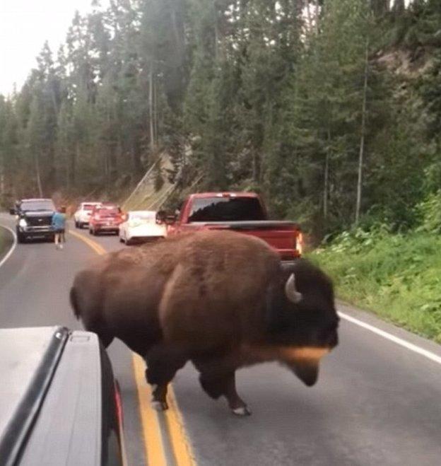 Согласно правилам заповедника, посетители должны держаться от бизонов и лосей на расстоянии не менее 20 метров и 90 метров от медведей и волков бизон, дорога, животные, заповедник, йеллоустон, парк, сша