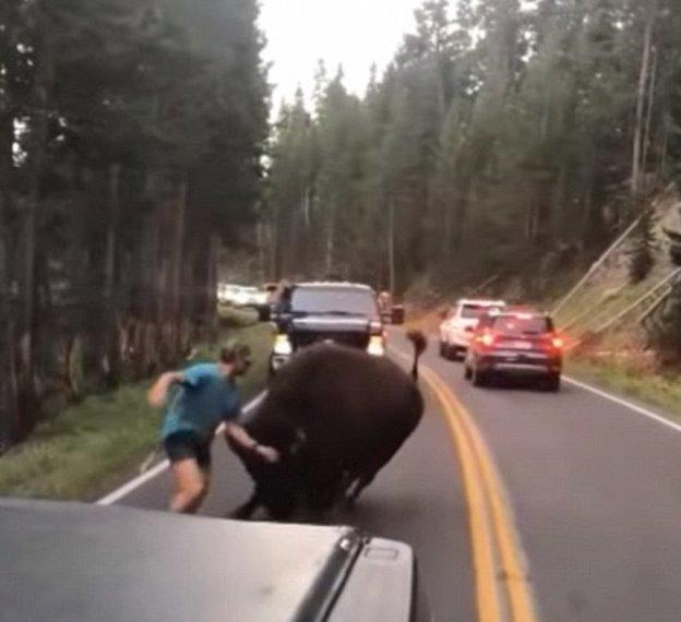 К счастью американца, парнокопытное быстро потеряло к нему интерес бизон, дорога, животные, заповедник, йеллоустон, парк, сша