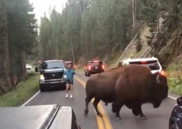 Неизвестный мужчина, увидев бизона на дороге, вышел из машины и принялся привлекать внимание грозного животного бизон, дорога, животные, заповедник, йеллоустон, парк, сша