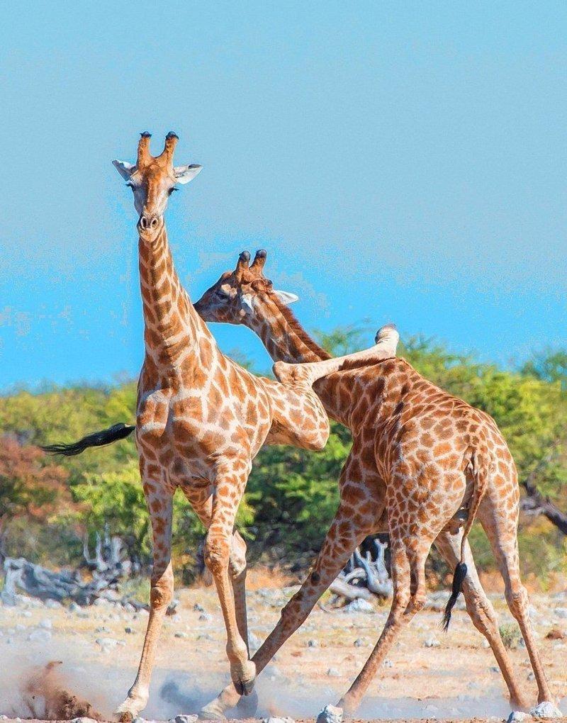 Жираф-каратист после удара в стиле Брюса Ли стал знаменитостью в Сети   борьба, в мире, животные, жираф, природа