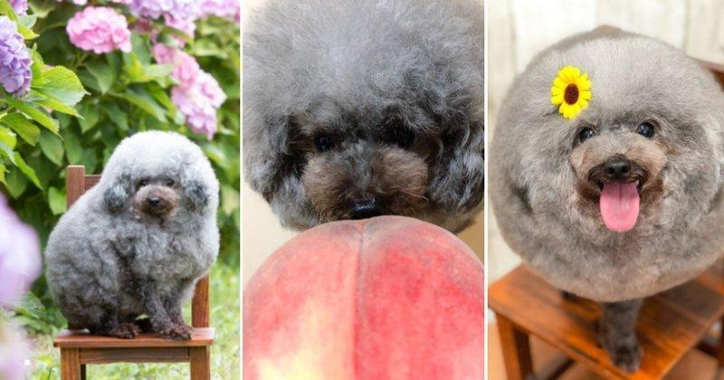 Волшебство собачьих парикмахеров умилило пользователей сети искусство, собаки, собачья парикмахерская, соцсети, умилениe, япония