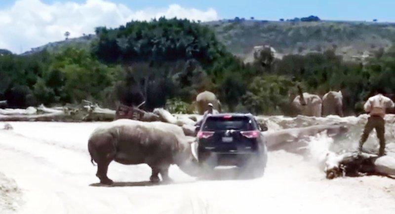 В мексиканском сафари-парке носорог попытался перевернуть внедорожник с туристами в мире, видео, внедорожник, животные, носорог, с турист