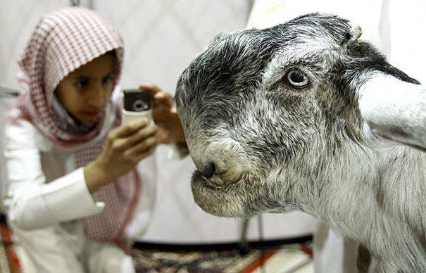 4. Порода, животные, козел, козы, необычные животные, саудовская аравия, селекция, уродливые животные