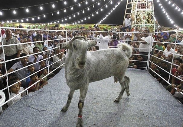 16. Порода, животные, козел, козы, необычные животные, саудовская аравия, селекция, уродливые животные