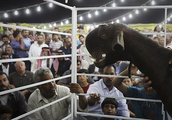 2. Порода, животные, козел, козы, необычные животные, саудовская аравия, селекция, уродливые животные