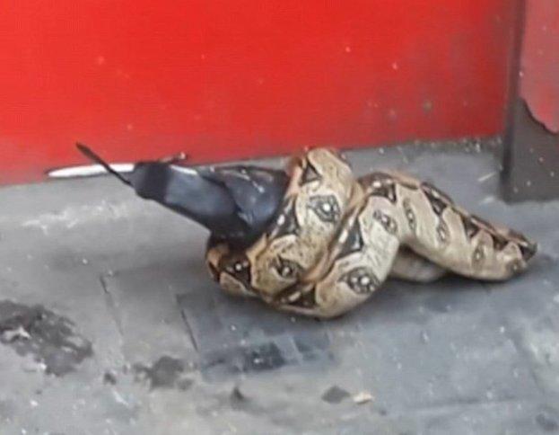 В Лондоне питон сожрал голубя посреди центральной улицы ynews, великобритания, голубь, змея в городе, лондон, новости, питон, чрезвычайное происшествие
