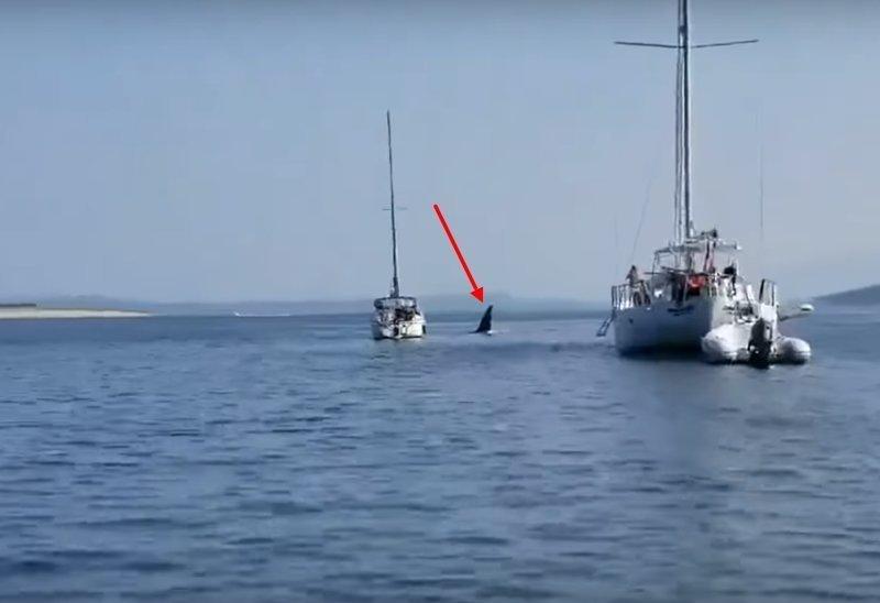 Косатка угнала судно и устроила аварию ynews, видео, животные, интересное, касатка, рыбка, юмор