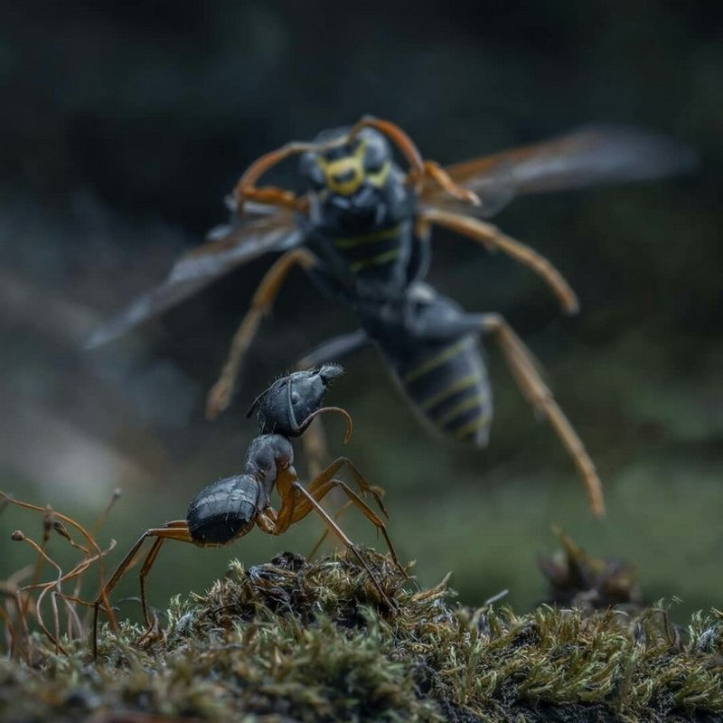 Как муравьи уничтожают гнездо ос гнездо, муравьи, осы, уничтожают