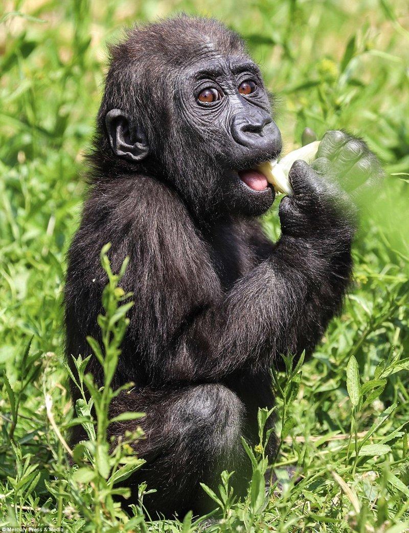 Чудесные фотографии детеныша гориллы из Бристольского зоопарка Бристоль, горилла, гориллы, животные в зоопарке, животный мир, зоопарк, обезьяны, приматы