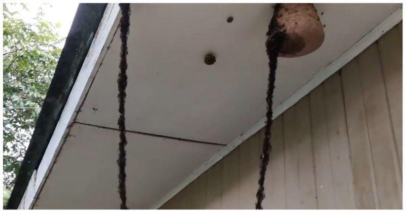 Пехота против авиации: муравьи построили в воздухе мост и напали на гнездо ос бразилия, видео, гнездо, животные, мост, муравьи, нападение, осы