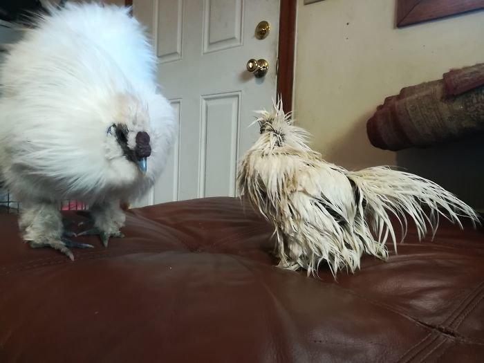 Эта курица - восходящая звезда интернета! домашние любимцы, домашняя птица, животные, забавно, курица, куры как люди, необычно, репортаж