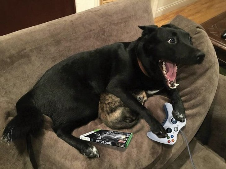 Когда наконец купил долгожданную игру домашний питомец, животные, кошка, милота, собака, эмоции