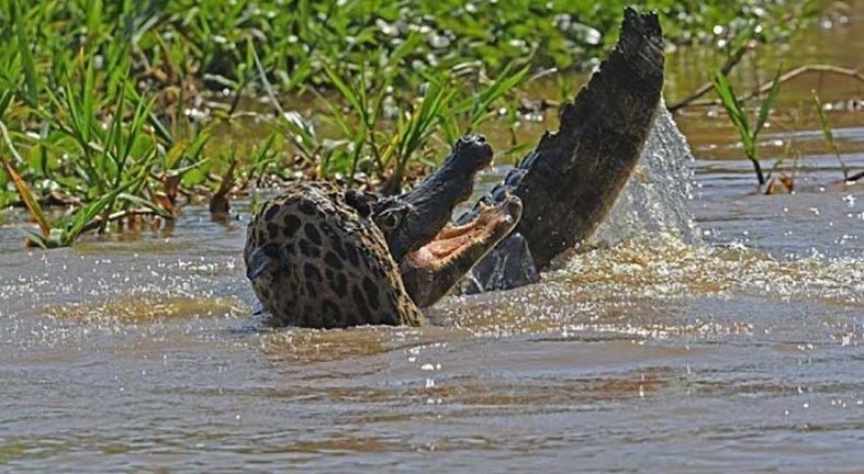 Ягуар смог одолеть каймана прямо в его родной стихии jaguar, в мире, видео, животные, кайман, природа, схватка