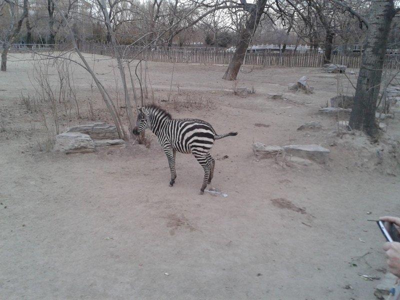 5. Хотел красиво сфотографировать зебру животные и люди, зоопарк, поход в зоопарк, смешно, сходил я как-то раз в зоопарк, фото