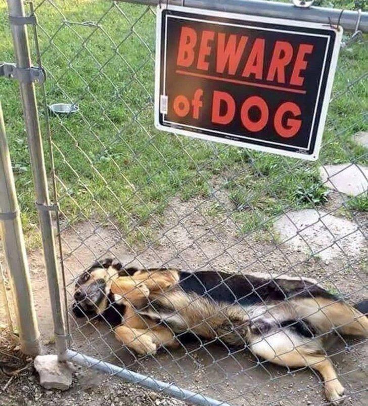 Он обезоружит любого своим обаянием животные, охрана, прикол, собака, юмор