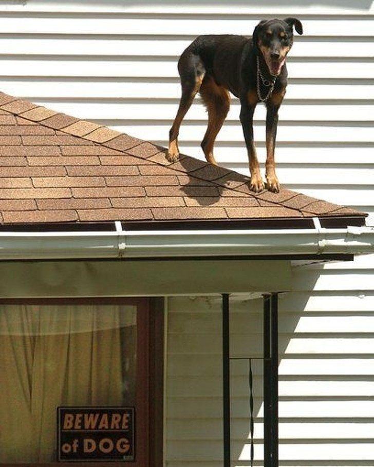 """""""Так наша собака пытается охранять. Пока безуспешно"""" животные, охрана, прикол, собака, юмор"""