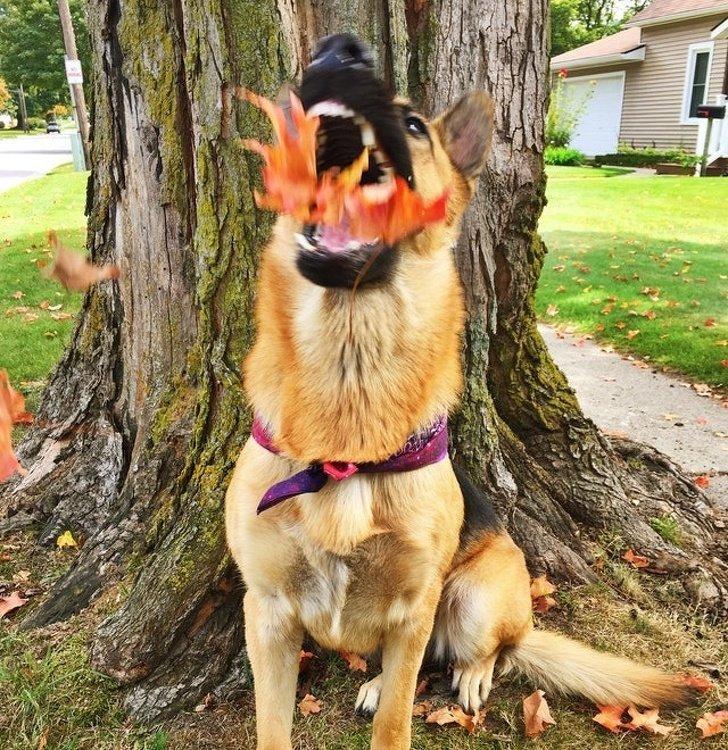 В обычной жизни он беспощадный охранник, но когда никто не видит он — пожиратель листьев животные, охрана, прикол, собака, юмор