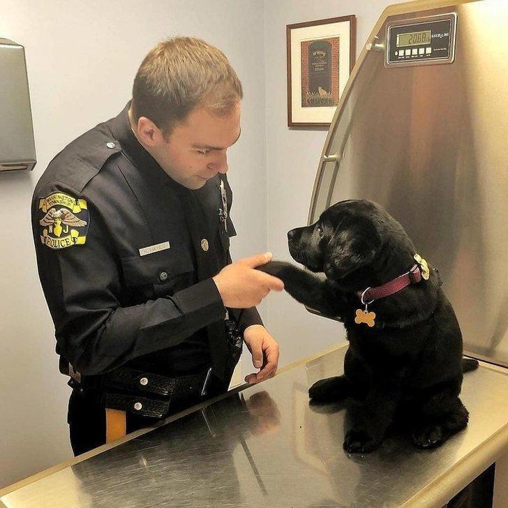 Кажется, этот полицейский пёс ещё не готов выполнять свои обязанности. Он слишком милый для этого животные, охрана, прикол, собака, юмор